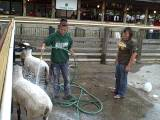 sheep wash opens at 4 h park